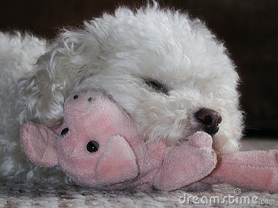 Toy poodle cuddling stuffed pig