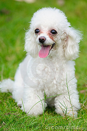 Free Toy Poodle Dog Royalty Free Stock Image - 10462486