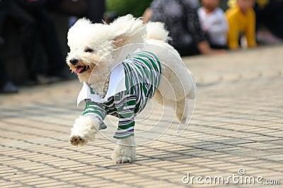 Toy poodle dog running