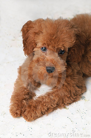 Toy Poodle Gaze