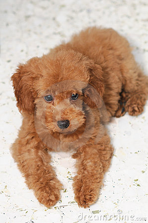 Toy Poodle Gaze 2