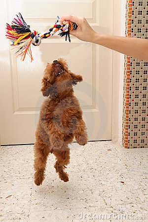 Toy Poodle jump