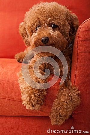 Free Toy Poodle Lazing On Sofa 2 Royalty Free Stock Photo - 13920155