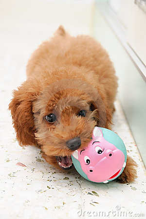 Toy Poodle at Play 2