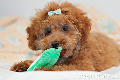 Toy Poodle at Play 3