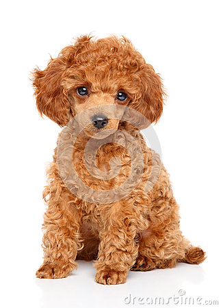 Free Toy Poodle Puppy Stock Photos - 65830283