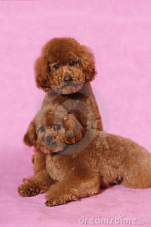 Toy Poodle teddy bear