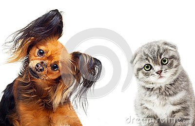 Toy terrier dog and a cat
