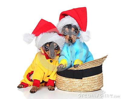 Toy terriers in Xmas hats