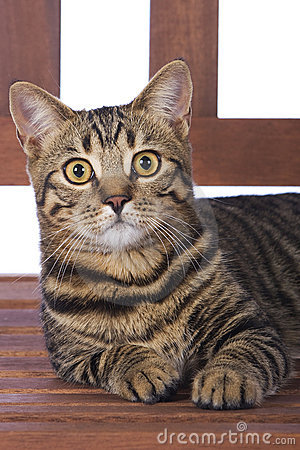 Toyger Cat on bench