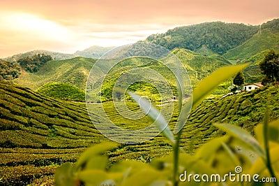 Trädgårds- tea