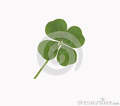 Trébol afortunado de cuatro hojas