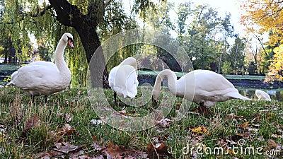 Três cisnes sobre a grama verde perto das penas do pincel da lagoa Dawn e os raios do sol criam o conceito de pureza e beleza Mac filme