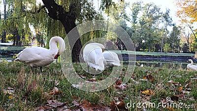 Três cisnes sobre a grama verde perto das penas do pincel da lagoa Dawn e os raios do sol criam o conceito de pureza e beleza Mac vídeos de arquivo