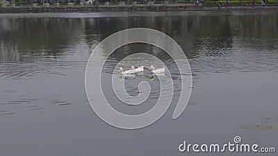 Três patos água pássaros gansos, Anatidae ou aves aquáticas Viajando família de pássaros nadando e flutuando na água do lago vídeos de arquivo