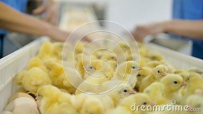 Trabajador de las aves de corral que clasifica pollos del bebé en el convetor de las aves de corral Industria de la agricultura almacen de metraje de vídeo