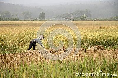 Trabajo en el campo del arroz