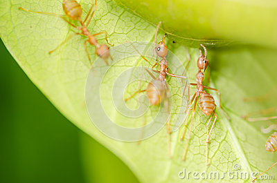 Trabajo en equipo rojo de las hormigas