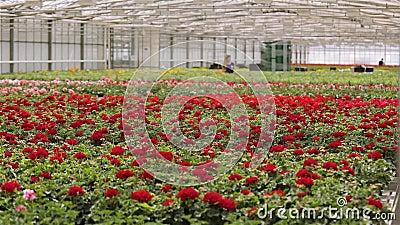 Trabalhador de estufa cuidando de flores, fluxo de trabalho na estufa para cultivar flores, uma grande estufa moderna vídeos de arquivo