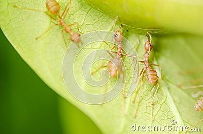 Trabalhos de equipa vermelhos das formigas