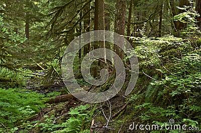 Traccia olimpica della foresta