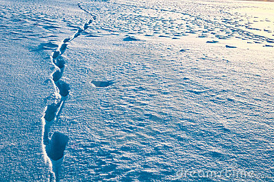 Traces of a wild animal in the snow-covered surfac
