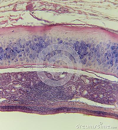 Trachea,mammalian