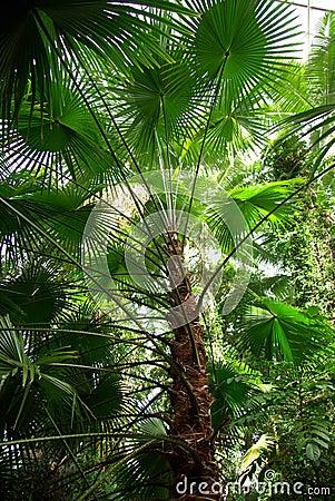 Trachycarpus Fan Palm