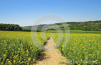 Track through a Field of Yellow Rapeseed