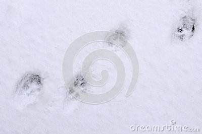 Tracks of cat on the snow Stock Photo