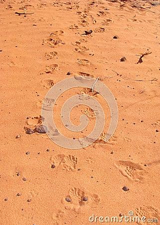 Tracks of a Desert Tortoise, Gopherus agassizii