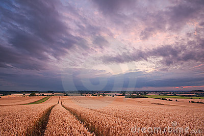 Tracks through a wheat field at sunset