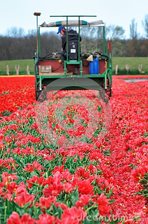 Tractor harvest red tulips