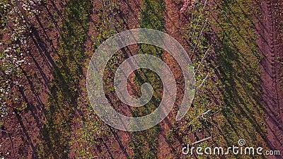Tractor pulverizando manzanos floridos metrajes