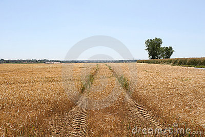 Tractor trailor tracks through a wheat field