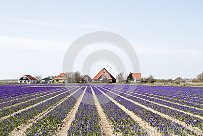 Traditional farmhouses in Holland