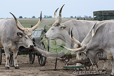Traditional Hungarian Grey Steer