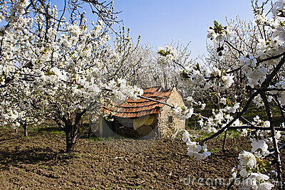 Traditional mud farmhouse in orchard
