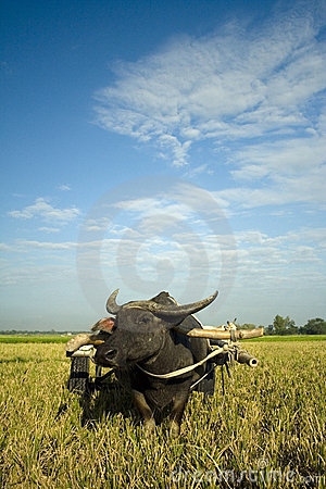 Free Traditional Rural Ox Cart Philippines Farm Royalty Free Stock Photos - 2198548