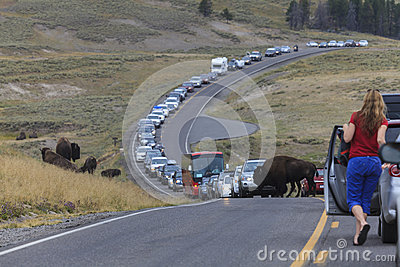 Traffic Jam in Yellowstone National Park Editorial Photo