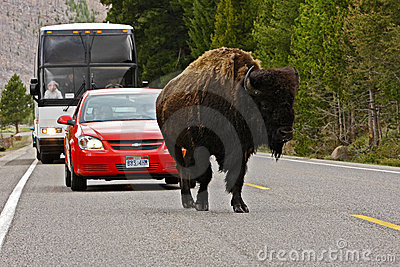 Traffic  in Yellowstone National Park Editorial Image