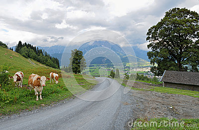 Trail with cows at the european alps saalfelden leogang