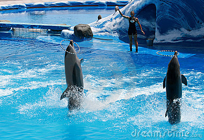 Trained dolphins playing with their trainer Editorial Photo