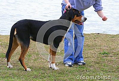 Training a Show Dog