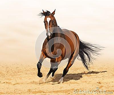 Trakehner红色海湾在行动的颜色公马