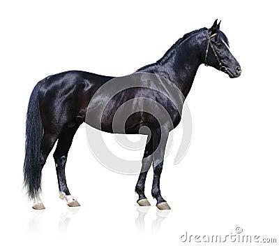 黑色公马trakehner