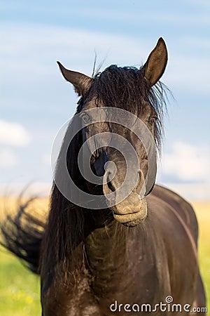 Trakehner black stallion