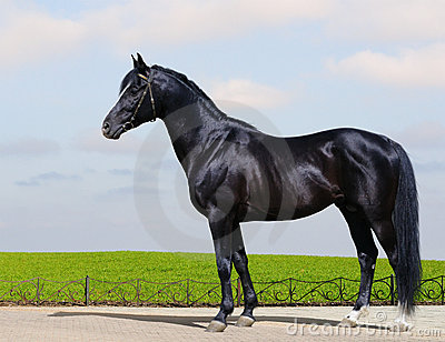 Trakehner black stallion