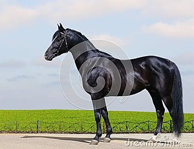 Trakehner schwarzer Stallion