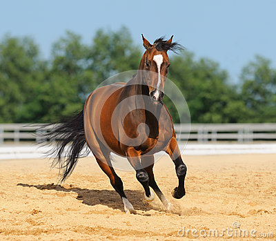 Trakehner stallion on arena